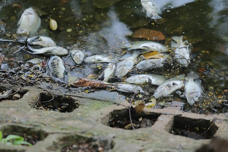 Cá chết nhiều khiến lực lượng chức năng vớt... không xuể.