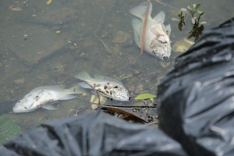 Cá chết nhiều, cứ vớt được vài tiếng là lại... kín mặt hồ.