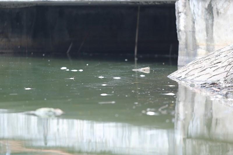 Cá chết nhiều tại các họng cống nước thải...