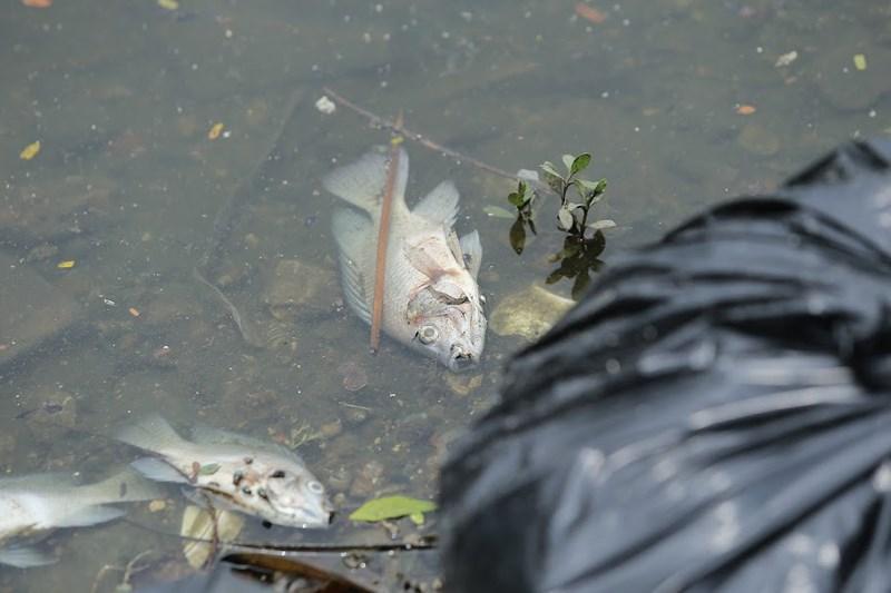 Những hình ảnh mới nhất về cá chết trắng tại hồ Trúc Bạch 8