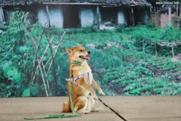 Bị chỉ trích dùng chó Nhật đóng vai chó Việt, nhà sản xuất 'Cậu Vàng' nói gì? 1