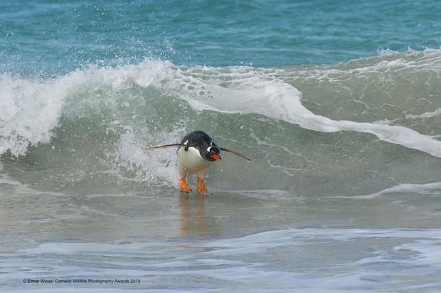Đừng coi thường, chim chánh cụt cũng đam mê lướt ván đấy nhé.