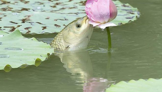Khoảnh khắc cá lao lên mặt nước để ăn hoa sen - hình ảnh gây chú ý trên mạng xã hội 0