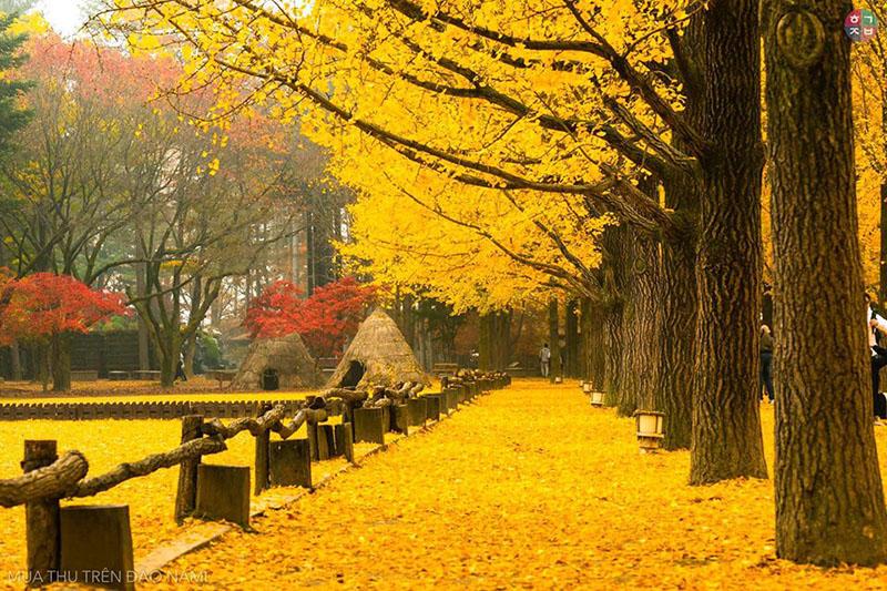 Đi Nami chân không chạm đất, vì ở đâu lá cũng phủ dày những chiếc lá xinh xinh. (Ảnh:Chinh Leu)