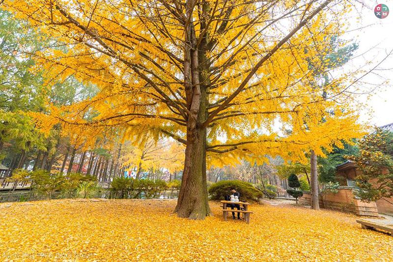Một góc siêu hot của Nami - cây đại thụ trút lớp lớplá vàng(Ảnh:Chinh Leu)