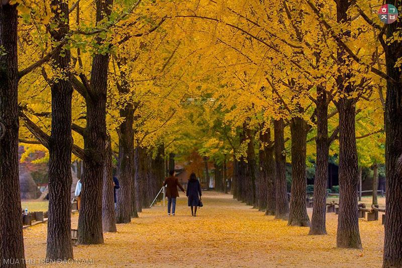 Thảm lá vàng đẹp như trong phim(Ảnh:Nguyễn Hoàng Tấn Lộc)