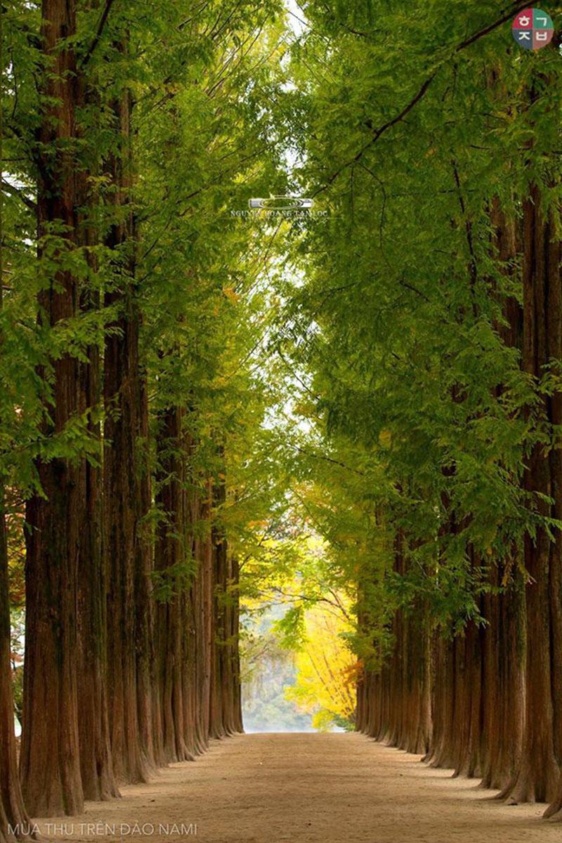 Lối đi ngày giao mùa với hai bên là hàng dài cây đại thụ thẳng tắp (Ảnh:Nguyễn Hoàng Tấn Lộc)