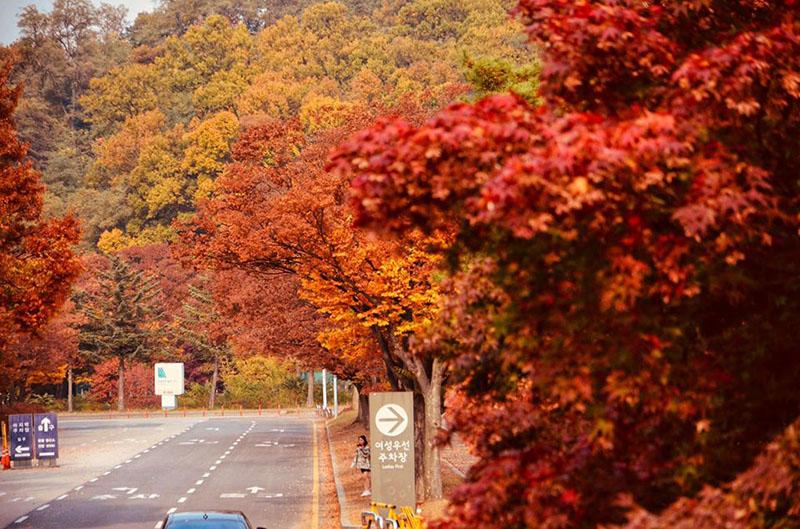 Mùa thu phủ lên công viên Seoul một màu đỏ rực (Ảnh: Hoàng Hạnh)