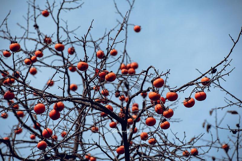 Những quả hồng ngon lành nằm vắt vẻo trên nhánh khô(Ảnh: Phan Bảo Ngọc)