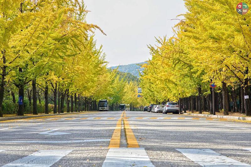 8 Lee Bui Đại lộ ngân hạnh phía trước Toà Thị chính thành phố Gwacheon(Ảnh: Lee Bui)