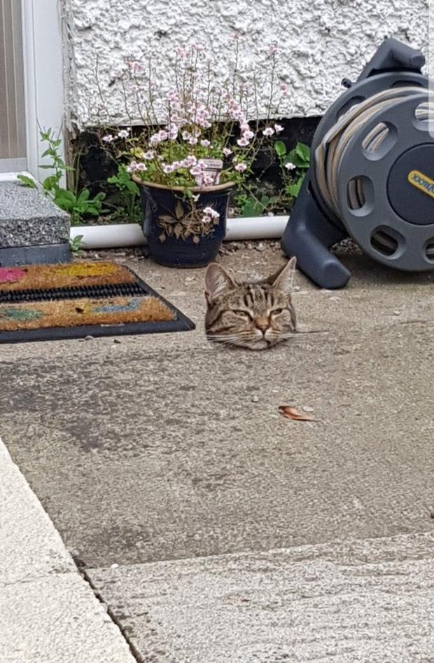 Thực chất, mặt nền mà chú mèo này đứng thấp hơn so với thềm nhà nên nhiều người mới chỉ nhìn thấy mỗi cái đầu