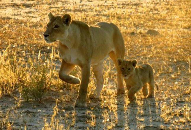 Đối mặt với 2 mẹ con sư tử cái, báo đốm xác định số phận sẽ bị xơi tái nhưng hành động tiếp theo của đối phương khiến ai cũng ngỡ ngàng 1