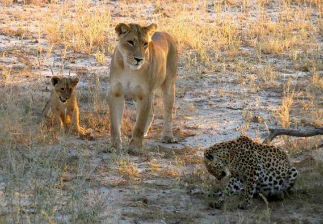 Đối mặt với 2 mẹ con sư tử cái, báo đốm xác định số phận sẽ bị xơi tái nhưng hành động tiếp theo của đối phương khiến ai cũng ngỡ ngàng 2