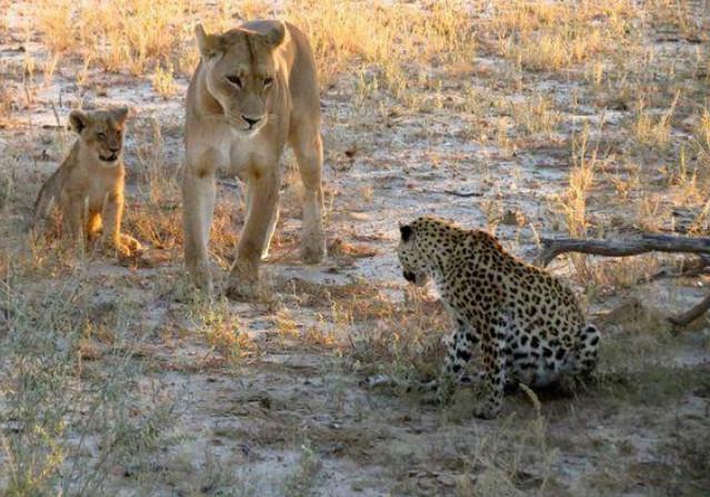 Đối mặt với 2 mẹ con sư tử cái, báo đốm xác định số phận sẽ bị xơi tái nhưng hành động tiếp theo của đối phương khiến ai cũng ngỡ ngàng 3