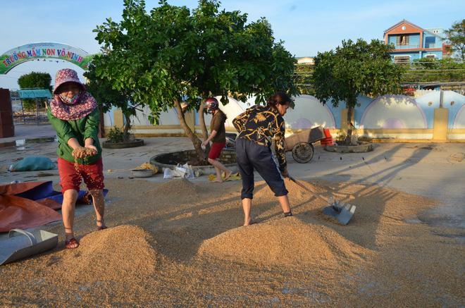 Chiều 22/10, trời Quản Bình hửng nắng, tiết trời ấm áp, gia đình bà Loan (ở thôn Tây, xã Võ Ninh, huyện Quảng Ninh tranh thủ đem những bao thóc ra hong nắng.