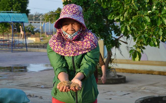 Lũ rút, dân Quảng Bình lao đao vì thóc lúa mọc mầm: 'Thóc này giờ chỉ phơi cho gà vịt ăn thôi' 0