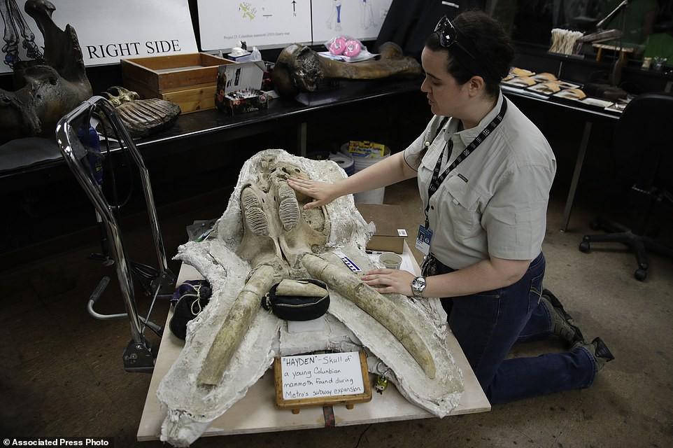 Ashley Leger và bộ xương sọ của một cá thể voi ma mút con.