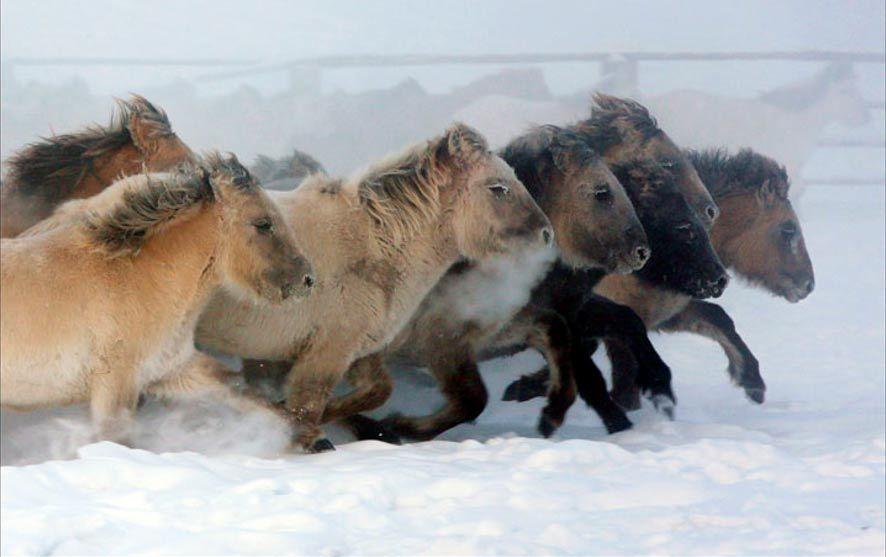Loài ngựa huyền thoại sống ở nơi nhiệt độ âm 70 độ C 1