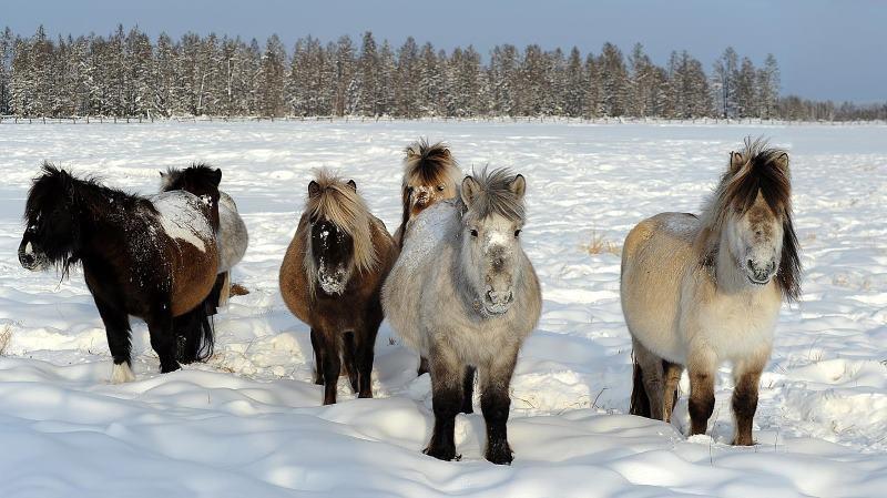 Loài ngựa huyền thoại sống ở nơi nhiệt độ âm 70 độ C 3