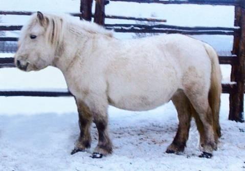Loài ngựa huyền thoại sống ở nơi nhiệt độ âm 70 độ C 2