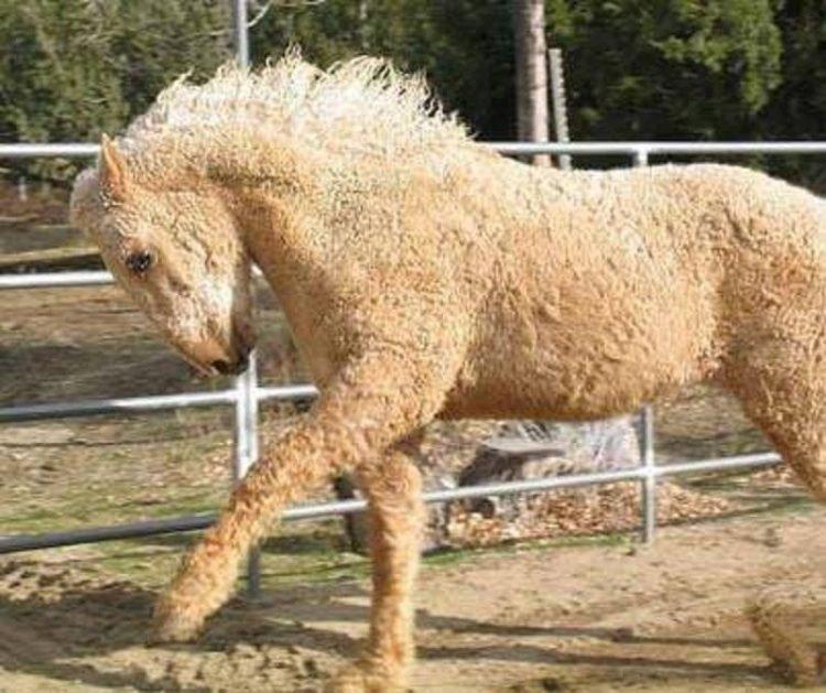 Cận cảnh ngựa lông xoăn Bashkir kỳ lạ nhất thế giới 1