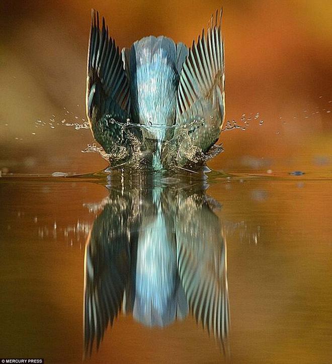 Những con chim bói cá chỉ lao mình xuống nước bắt mồi khoảng 3-4 lần/ngày và không phải con chim bói cá nào cũng thực hiện được cú bổ nhào vuông góc với mặt nước như vậy.