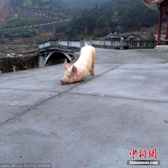 Chú lợn quỳ gối trước cổng chùa trước khi bị giết thịt.