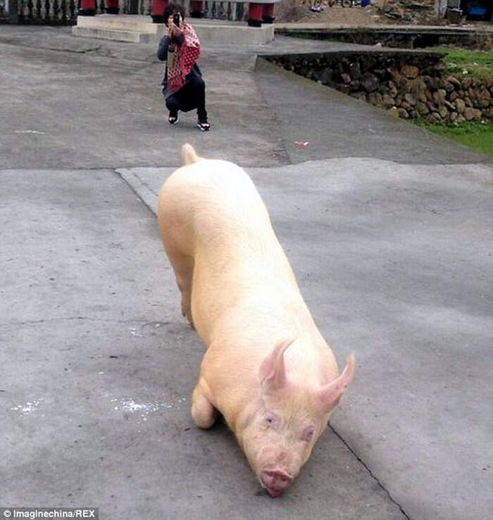 Có người phỏng đoán chú lợn này bị thiếu vitamin E nên mới có hành động như vậy.