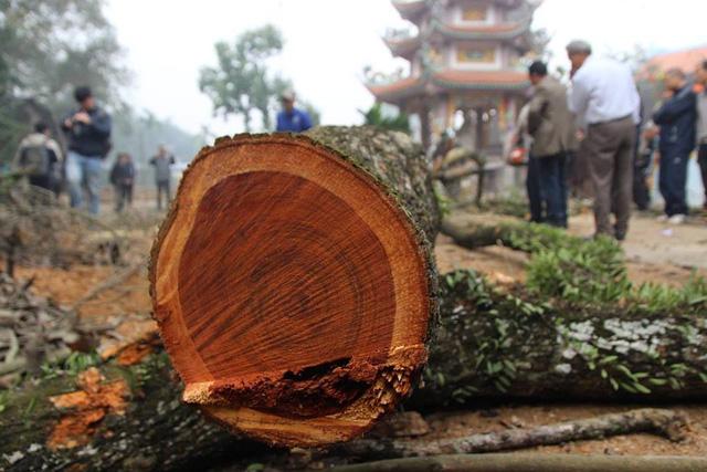 Lõi cây gỗ sưa đỏ ở làng Phụ Chính được cho là có giá trị đắt đỏ trên thị trường với hàng chục triệu đồng/kg.