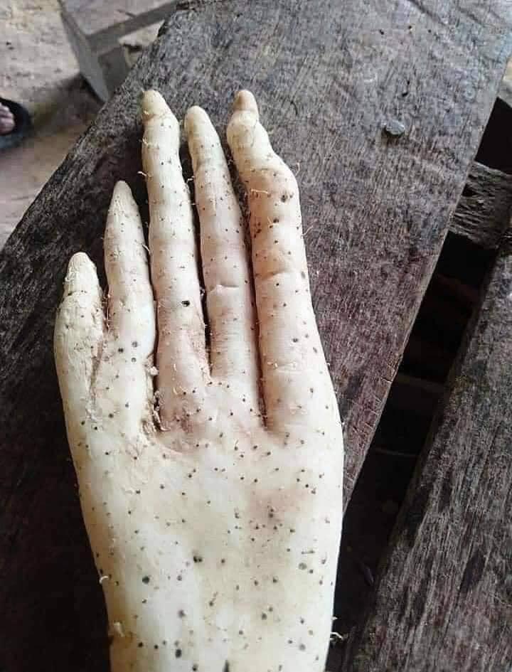 Củ khoai kỳ lạ có hình dáng giống bàn tay người khổng lồ khiến cộng đồng mạng xôn xao 1