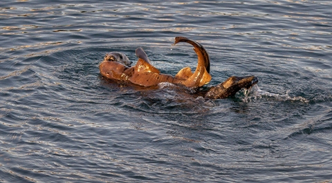 Sốc: Rái cá chén thịt cá mập quý hiếm 2