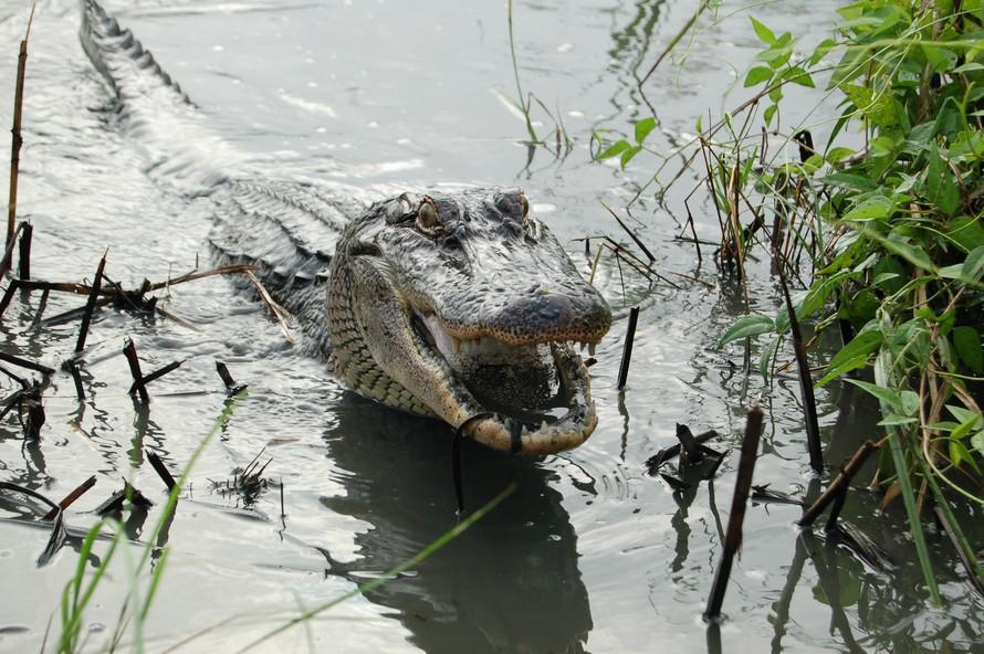 Cá sấu có thể mọc lại đuôi 0