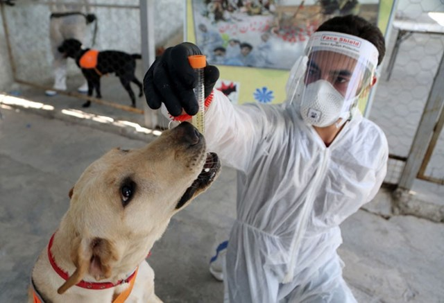 Các nhóm nghiên cứu trên khắp thế giới đang thử nghiệm xem chó có thể ngửi ''mùi'' Covid-19 hay không.