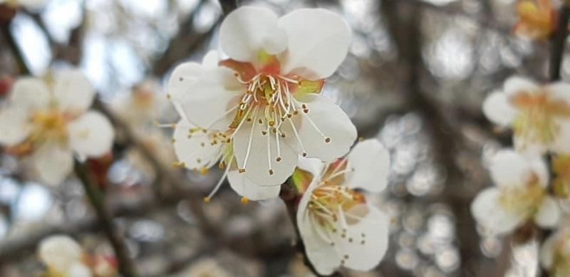 Hoa mơ nở trắng trời Mộc Châu, người người háo hức 'xuân sắp đến rồi' 4