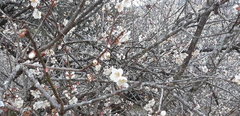 Hoa mơ nở trắng trời Mộc Châu, người người háo hức 'xuân sắp đến rồi' 2