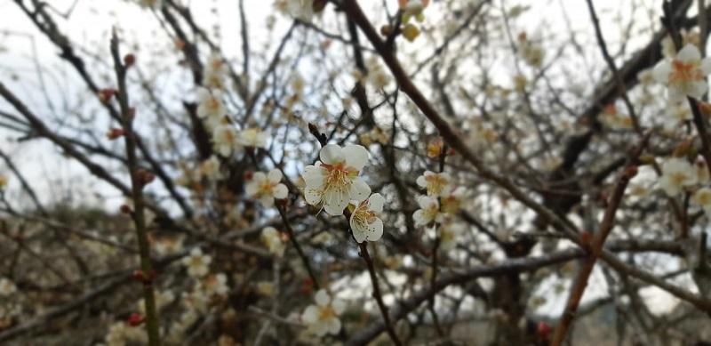 Đặc biệt, loài hoa này không nởriêng lẻ mànở thành chùm, trải dàitừ chân tới ngọn trên cả một thân cây xù xì, khiến người ta cảm thấy như lạc vào xứ sở thần tiên. Bởi vậy, khi nhìn từ trên cao xuống, rừng mơ như những đám mây trắng, từng đám, từng đám bồng bềnh trôi dọc các triền núivà trong lòng các thung lũng.