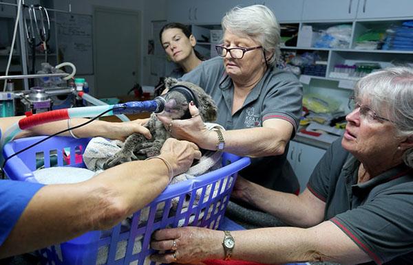 Sheila Bailey và nhóm nghiên cứu điều trị cho một chú gấu túi tên Kate từ cánh rừng tiểu bang Bellangry