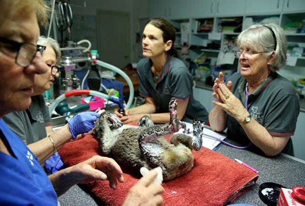 Các bác sĩ điều trị cho một chú gấu túi tên Peter từ khu bảo tồn thiên nhiên Lake Innes