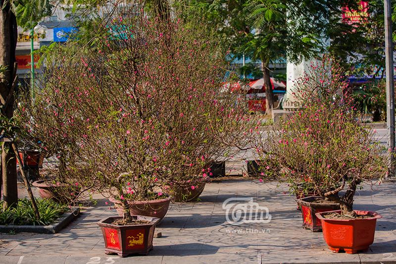Hoa đào, mai, quất đua sắc khắp phố phường Hà Nội, 'Tết tết tết tết đến rồi!' 3