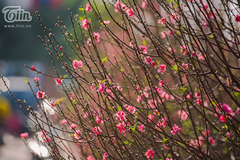 Hoa đào, mai, quất đua sắc khắp phố phường Hà Nội, 'Tết tết tết tết đến rồi!' 4