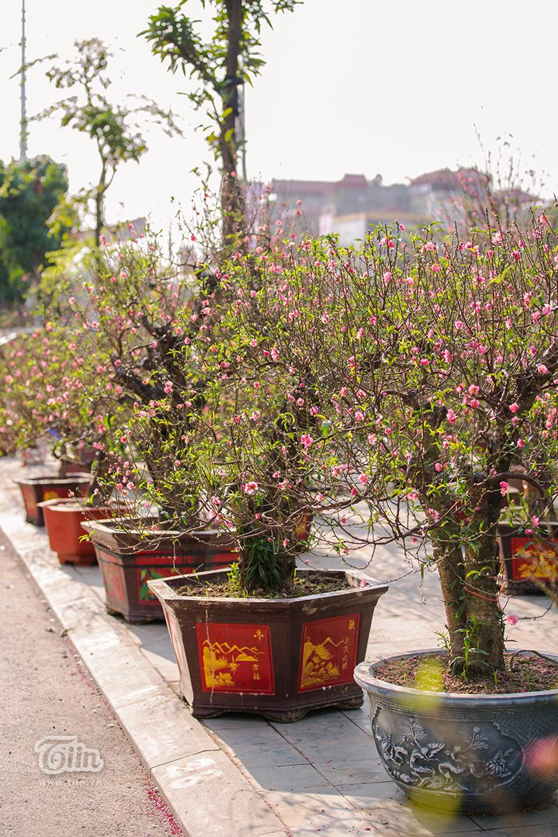 Hoa đào, mai, quất đua sắc khắp phố phường Hà Nội, 'Tết tết tết tết đến rồi!' 5