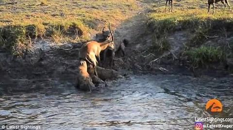 Chó hoang đông hơn nên áp đảo linh cẩu để giành con mồi