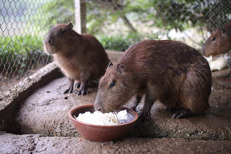 Những con chuột này nặng tới 50kg