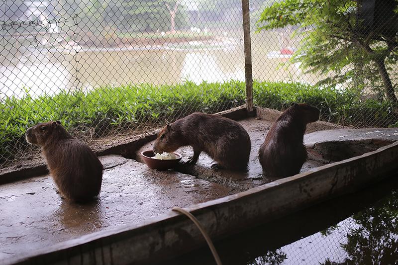Chúng thường chỉ ăn cây cỏ, hoa quả, động vật thuỷ sinh