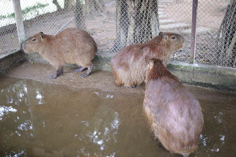 Chuột lang nước có nguồn gốc từ Nam Mỹ, được người chủ này nhập khẩu từ châu Âu