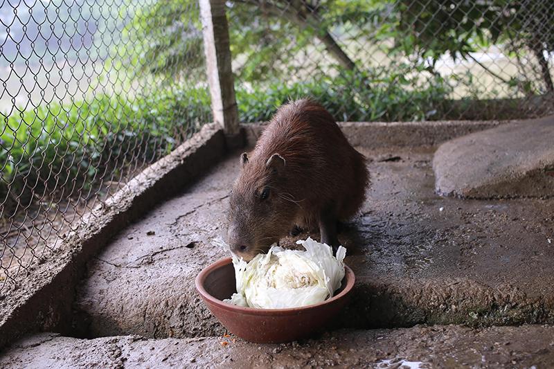 Hiện,chúng là loài chuột to nhất thế giới.