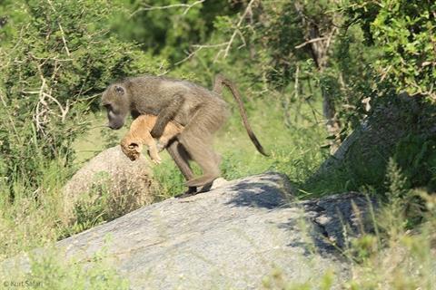 Con khỉ đầu chó đánh cắp sư tử con