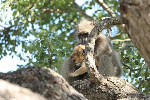 Khỉ đầu chó ôm sư tử con truyền từ cây này sang cây khác.