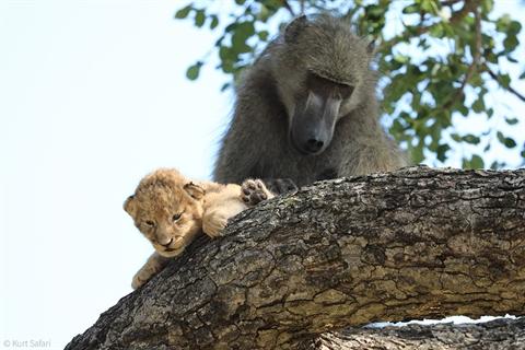Số phận khó tránh của sư tử con do mất nước, kiệt sức