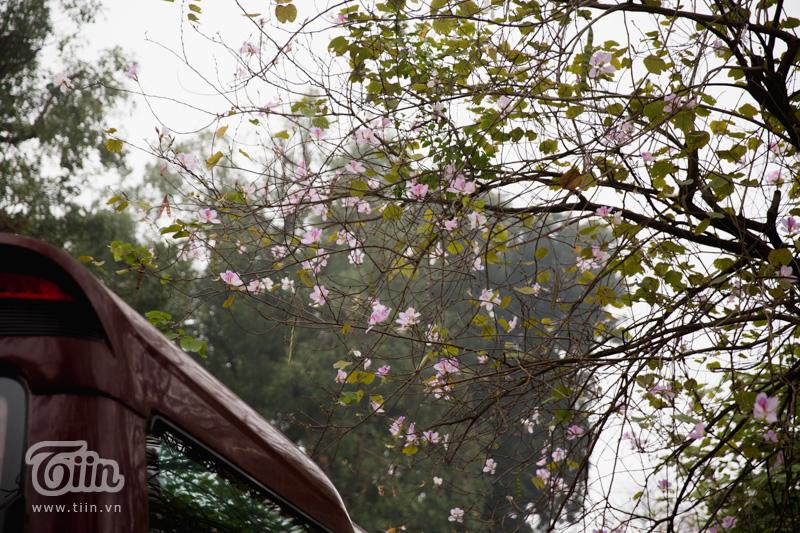Hà Nội nhuộm sắc tím, màu tím lãng mạn níu chân khách qua đường.